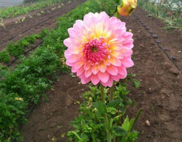 Flower-2-1